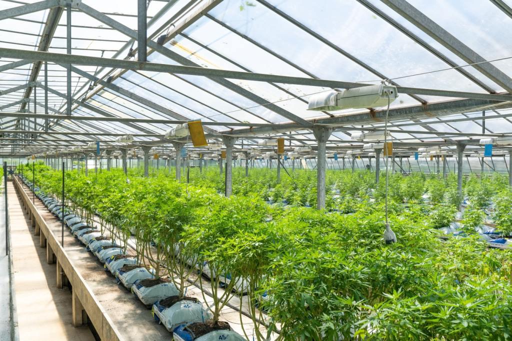Outdoor Marijuana Crops